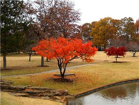 Japanese Maple One Of Fast Growing Trees Udkoenyku S Blog